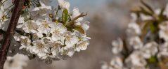 Strudels-kirschblüten-min